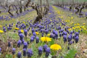 Irancy, les vignes au printemps