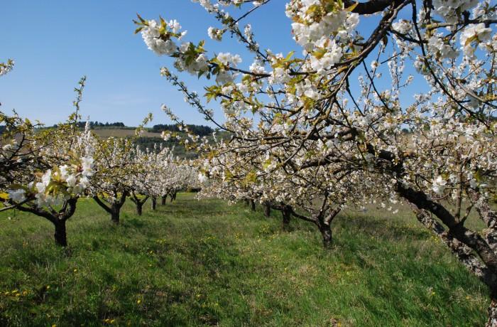 (Français) cerisiers