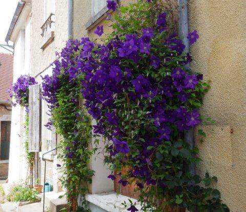 Irancy en fleurs