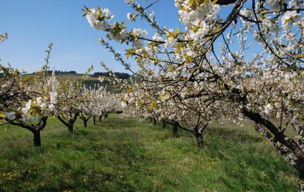 [:fr]cerisiers[:]